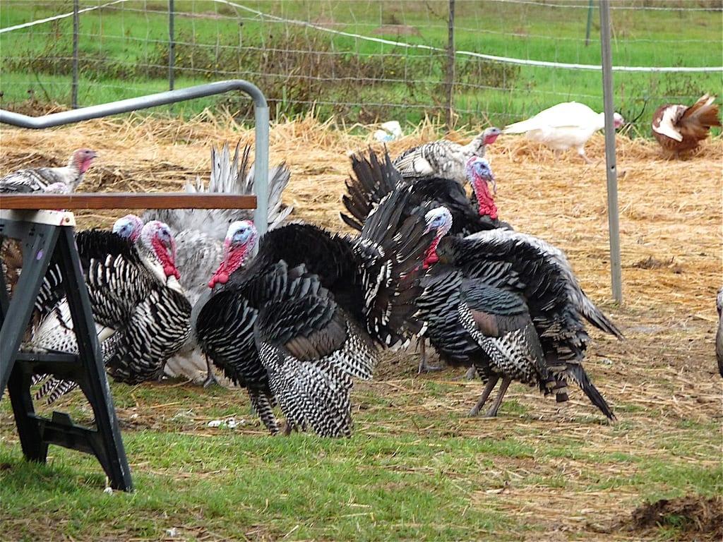 Harvesting Turkeys in Marysville